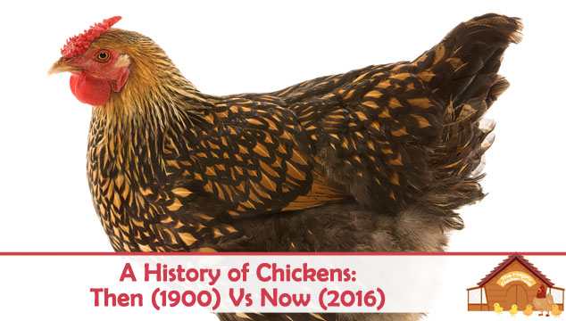 A-History-of-Chickens-Then-Vs-Now-Blog-Cover