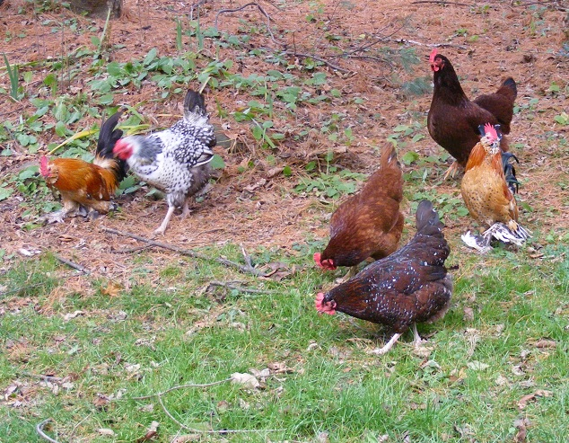 Rooster Guarding The Hens