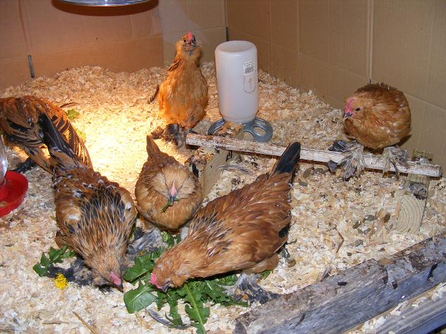 Chickens eating dandelion leaves
