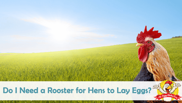 Do I Need a Rooster for Hens to Lay Eggs Blog Cover