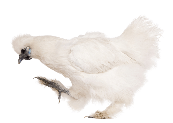 10 Awesome Reasons to Raise Silkie Chickens