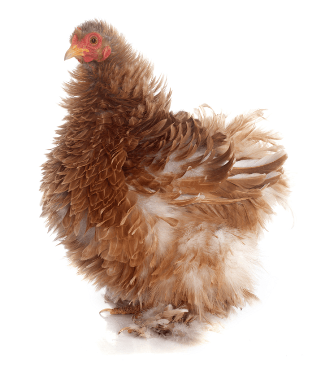 Frizzle Breed