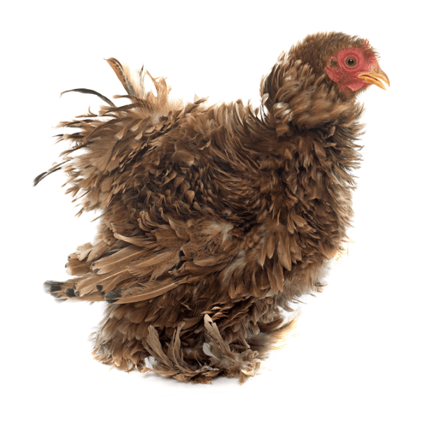 Frizzle Chick