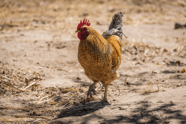 Rooster Walking on Sand