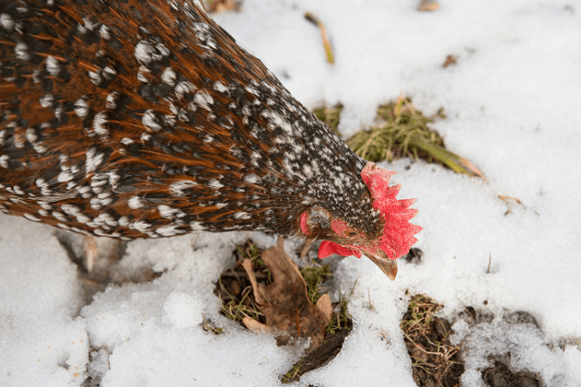 Speckled Sussex in Snow