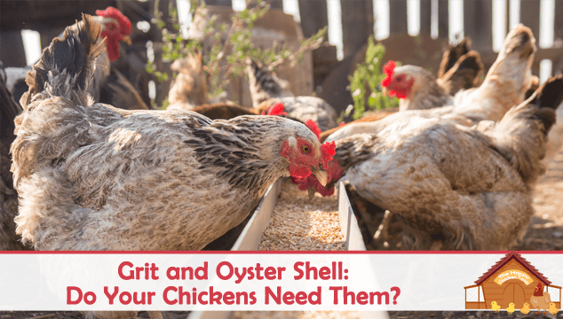 Grit and Oyster Shell Do Your Chickens Need Them Blog Cover
