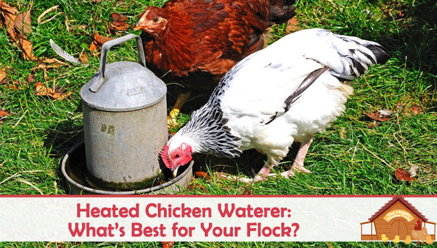 Heated Chicken Waterer What's Best for Your Flock Blog Cover