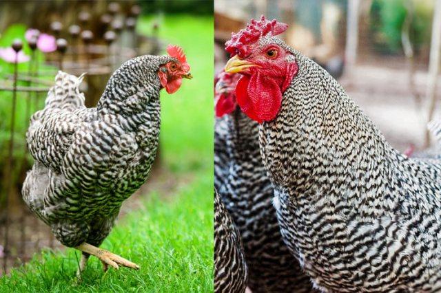 Dominique Chicken vs Barred Rock