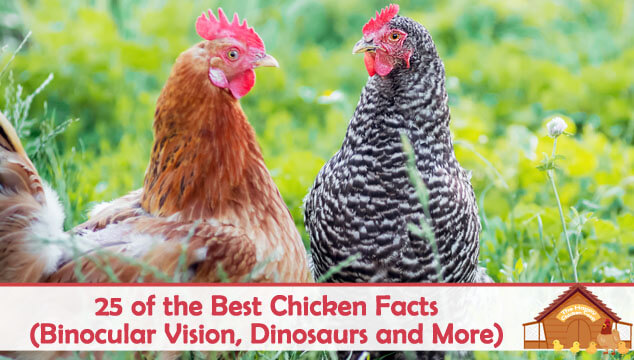 25 of the Best Chicken Facts (Binocular Vision, Dinosaurs and More) Blog Cover