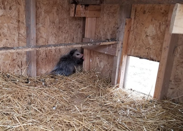 cornered possum playing dead