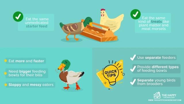 Raising Chickens And Ducks