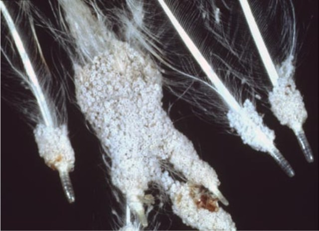 lice infestation in chicken feathers