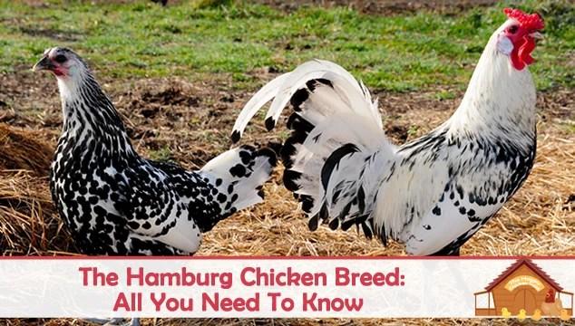 hamburg chicken featured image