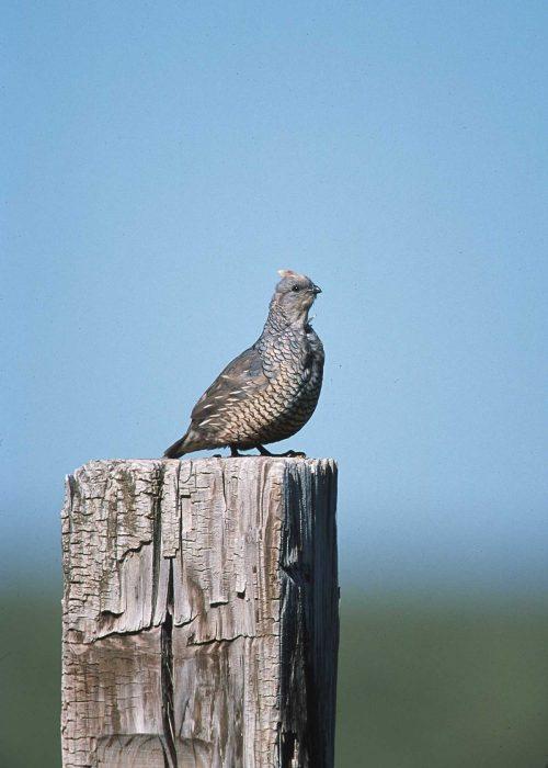 quail for hunting