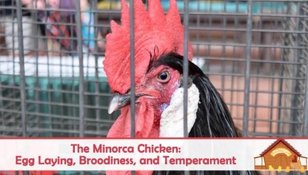 minorca chicken