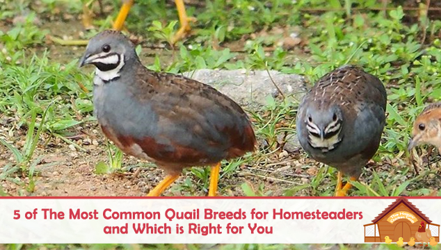 common quail breeds for homesteading