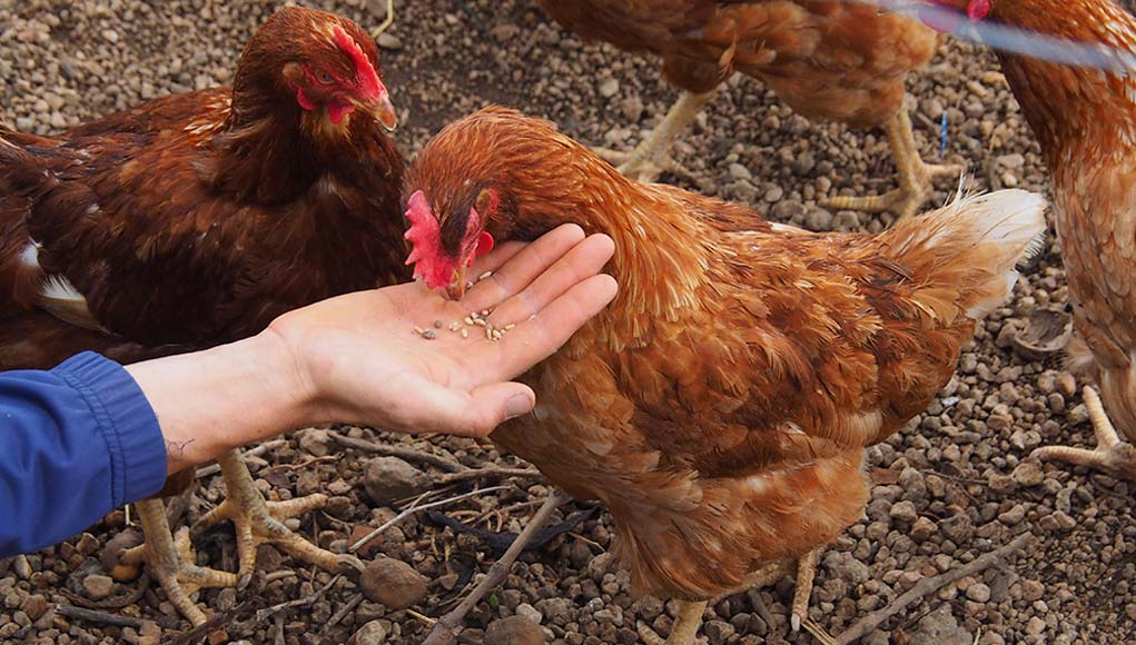 Top 7 Chicken Feed Brands