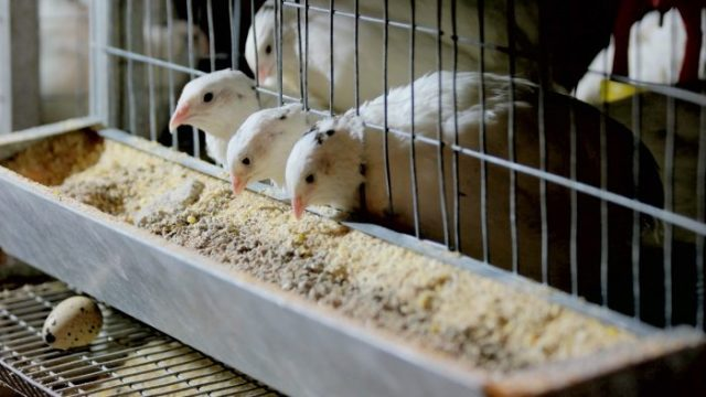 types of quail feeders