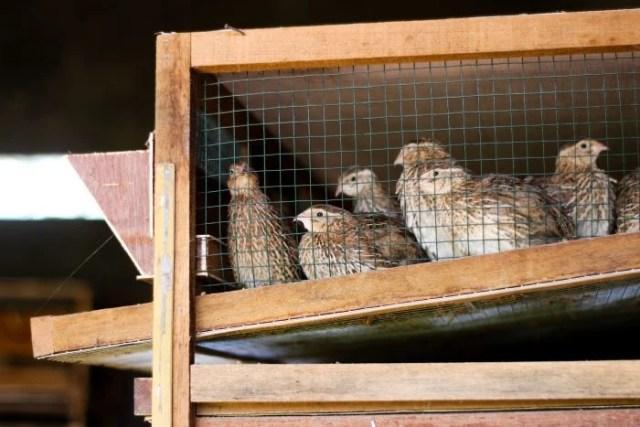 hutch quail cage