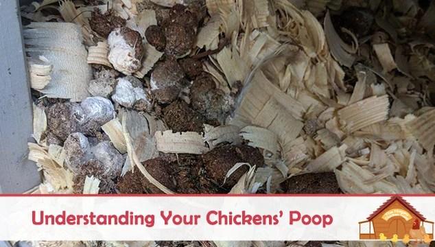 Understanding Your Chickens' Poop