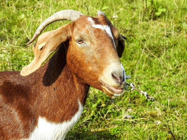 All You Need to Know About Boer Goats