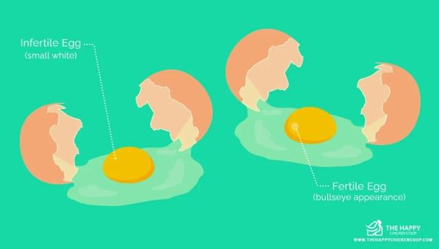 Eat Fertilized Eggs