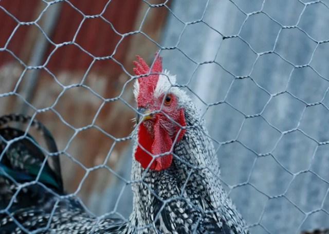 chicken fencing chicken wire