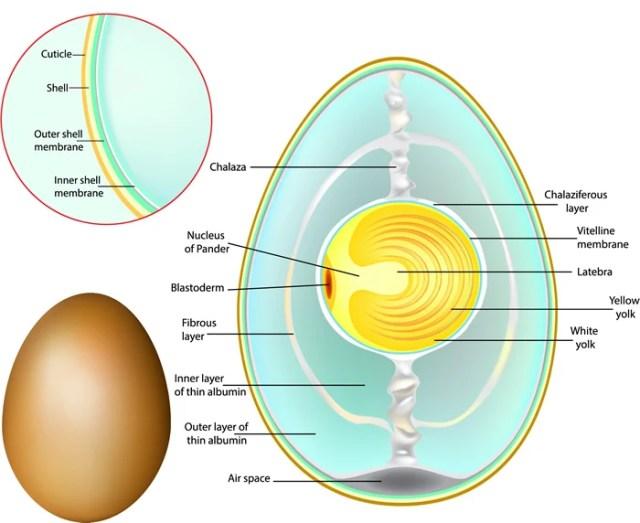 egg anatomy
