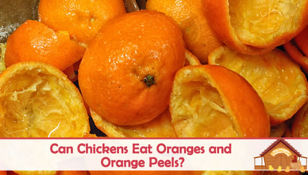 can chickens eat oranges and peels