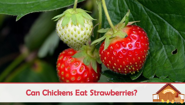 can chickens eat strawberries