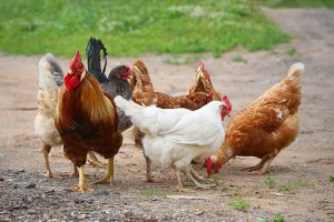 tips for breeding chickens
