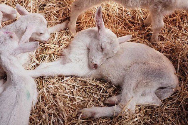 Goat Diseases And Sickness