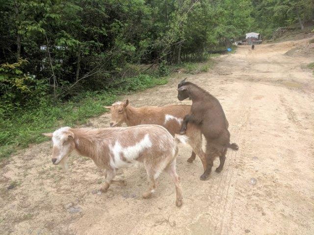 mating goats