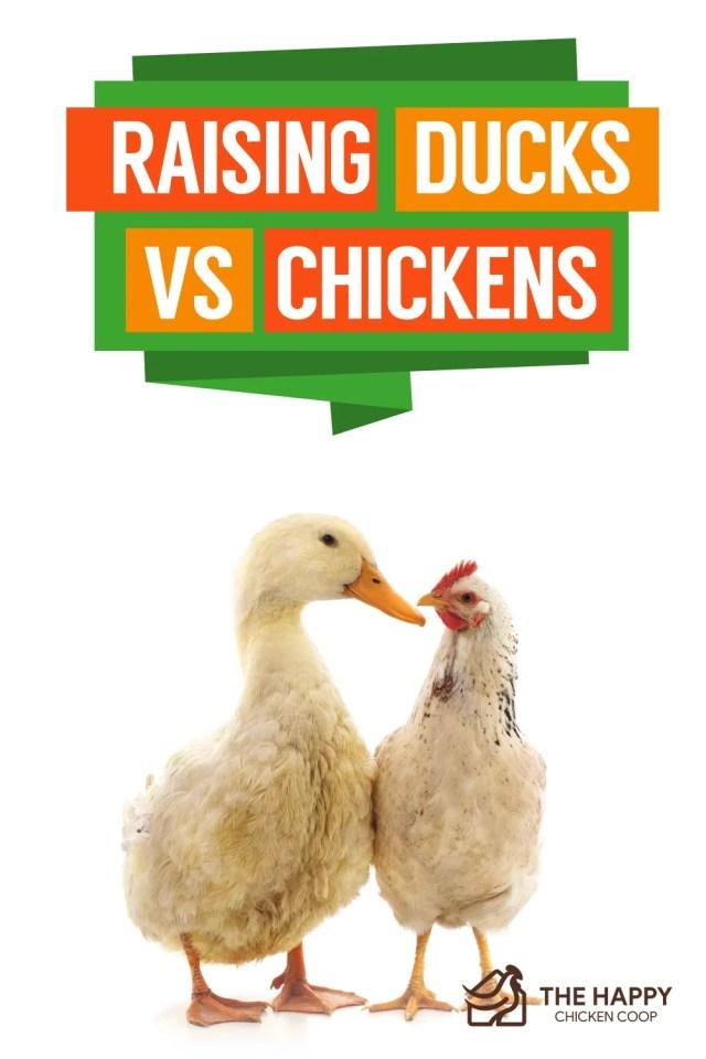 Raising Ducks Vs Chickens