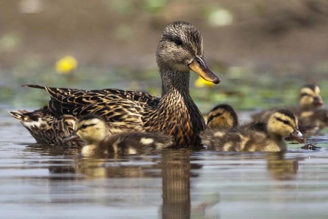 Interpreting Duck Behavior