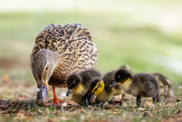The Ultimate Duck Feeding Guide
