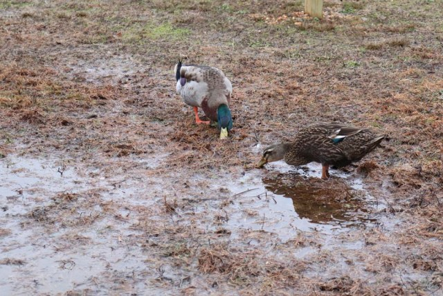 duck digging for food