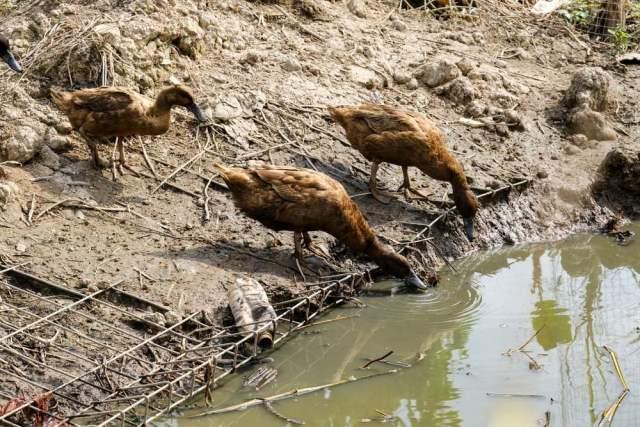 ducks feeding near water