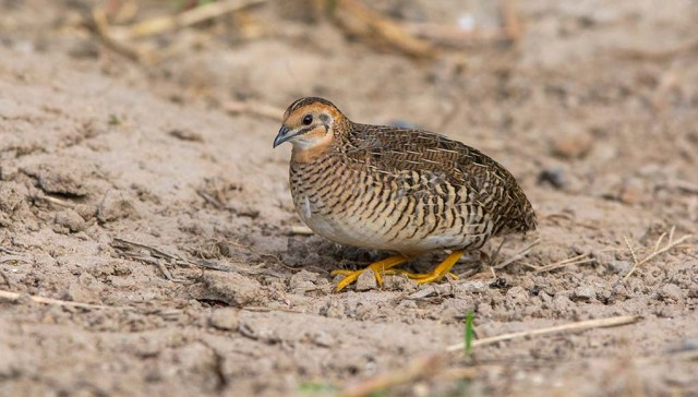 Complete Guide to Raising Quail as Pets