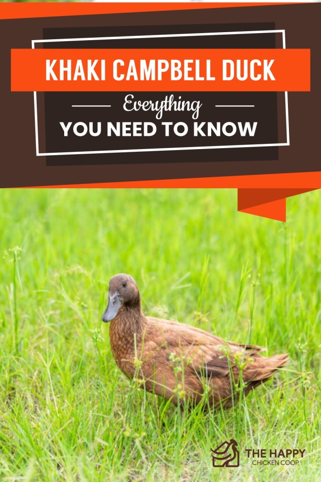 Khaki Campbell Duck- Everything You Need To Know