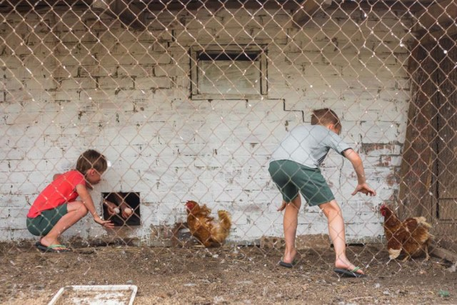 boys collect eggs and catch chickens