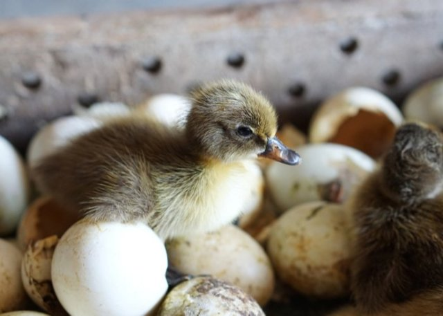 khaki campbell duck eggs