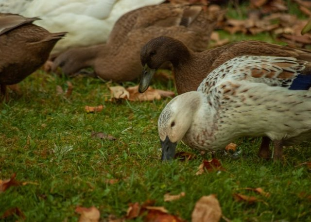 khaki campbell duck foraging