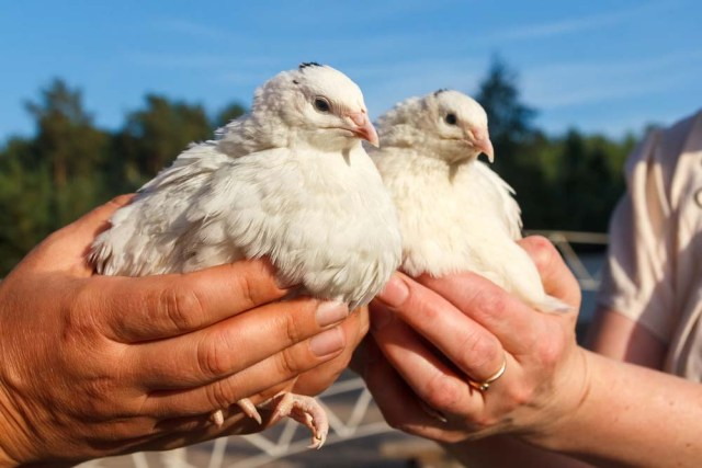 trained quail in hands
