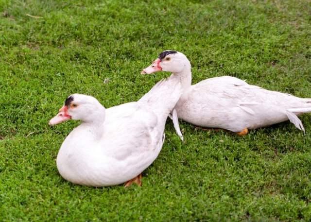 moulard duck sitting in field
