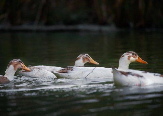 flock of magpie ducks in water