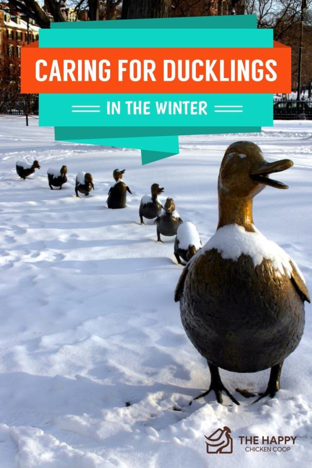 Ducklings In The Winter