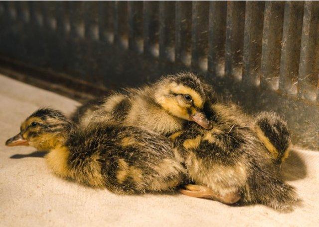 ducklings sitting in brooder