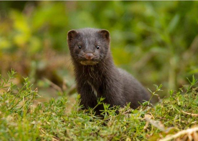 a mink in a field