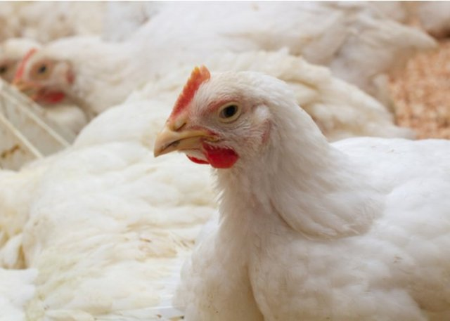 raise chickens for profit adult birds